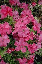 Duvet Salmon Petunia (Petunia 'Duvet Salmon') at Town And Country Gardens