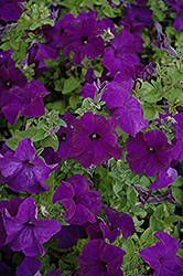 Bravo Blue Petunia (Petunia 'Bravo Blue') at Town And Country Gardens