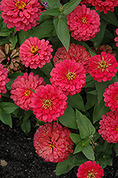 Magellan Cherry Zinnia (Zinnia 'Magellan Cherry') at Town And Country Gardens