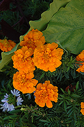 Durango Orange Marigold (Tagetes patula 'Durango Orange') at Town And Country Gardens
