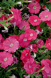 Carpet Salmon Petunia (Petunia 'Carpet Salmon') at Town And Country Gardens