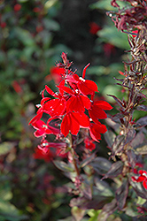 Queen Victoria Lobelia (Lobelia 'Queen Victoria') at Town And Country Gardens