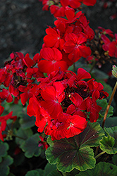 BullsEye™ Red Geranium (Pelargonium 'BullsEye Red') at Town And Country Gardens