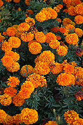 Taishan Orange Marigold (Tagetes erecta 'Taishan Orange') at Town And Country Gardens
