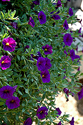 Celebration Dark Blue Calibrachoa (Calibrachoa 'Celebration Dark Blue') at Town And Country Gardens
