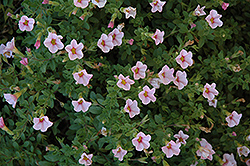 Superbells® Cherry Blossom Calibrachoa (Calibrachoa 'Superbells Cherry Blossom') at Town And Country Gardens