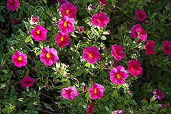 Superbells® Cherry Red Calibrachoa (Calibrachoa 'Superbells Cherry Red') at Town And Country Gardens