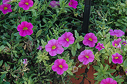 Aloha Pink Calibrachoa (Calibrachoa 'Aloha Pink') at Town And Country Gardens