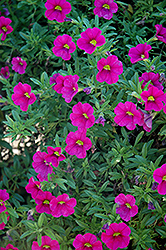 Aloha Neon Calibrachoa (Calibrachoa 'Aloha Neon') at Town And Country Gardens