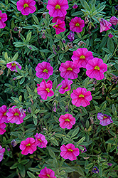 Aloha Hot Pink Calibrachoa (Calibrachoa 'Aloha Hot Pink') at Town And Country Gardens