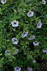 Superbells® Trailing Lilac Mist Calibrachoa (Calibrachoa 'Superbells Trailing Lilac Mist') at Town And Country Gardens