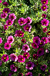 Aloha Kona Dark Lavender Calibrachoa (Calibrachoa 'Aloha Kona Dark Lavender') at Town And Country Gardens