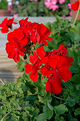 Calliope® Scarlet Fire Geranium (Pelargonium 'Calliope Scarlet Fire') at Town And Country Gardens