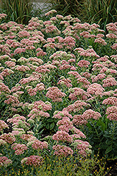 Autumn Joy Stonecrop (Sedum 'Autumn Joy') at Town And Country Gardens