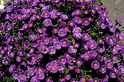 Magic Aster (Aster 'Magic') at Town And Country Gardens