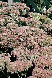 Autumn Fire Stonecrop (Sedum spectabile 'Autumn Fire') at Town And Country Gardens