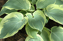 Northern Exposure Hosta (Hosta 'Northern Exposure') at Town And Country Gardens