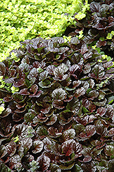 Black Scallop Bugleweed (Ajuga reptans 'Black Scallop') at Town And Country Gardens
