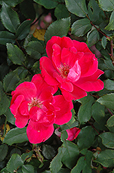Red Knock Out® Rose (Rosa 'Red Knock Out') at Town And Country Gardens