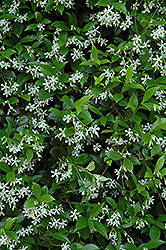 Confederate Star-Jasmine (Trachelospermum jasminoides) at Town And Country Gardens