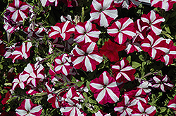 Easy Wave Burgundy Star Petunia (Petunia 'Easy Wave Burgundy Star') at Town And Country Gardens