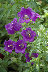 Champion Blue Canterbury Bells (Campanula 'Champion Blue') at Town And Country Gardens