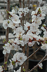 Moongold Apricot (Prunus 'Moongold') at Town And Country Gardens