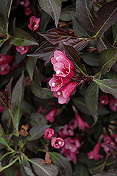 Spilled Wine® Weigela (Weigela florida 'Bokraspiwi') at Town And Country Gardens