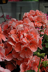 Classic™ Salmon Geranium (Pelargonium 'Classic Salmon') at Town And Country Gardens
