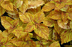 Freckles Coleus (Solenostemon scutellarioides 'Freckles') at Town And Country Gardens