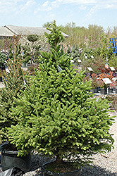 North Star Spruce (Picea glauca 'North Star') at Town And Country Gardens