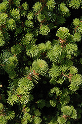 Sherwood Compact Norway Spruce (Picea abies 'Sherwood Compact') at Town And Country Gardens