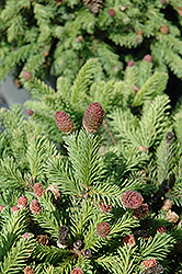 Pusch Spruce (Picea abies 'Pusch') at Town And Country Gardens