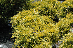 Sea Of Gold Juniper (Juniperus x media 'Sea Of Gold') at Town And Country Gardens