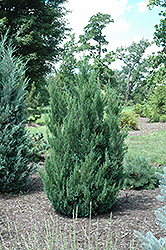 Blue Point Juniper (Juniperus chinensis 'Blue Point') at Town And Country Gardens