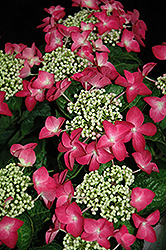 Strawberries And Cream Hydrangea (Hydrangea macrophylla 'Strawberries And Cream') at Town And Country Gardens