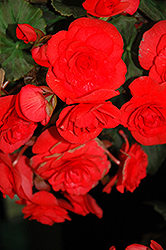 Solenia® Red Begonia (Begonia 'Solenia Red') at Town And Country Gardens