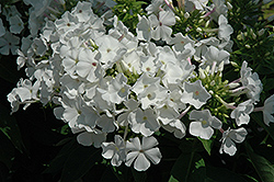 White Flame Garden Phlox (Phlox paniculata 'White Flame') at Town And Country Gardens