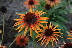 Flame Thrower Coneflower (Echinacea 'Flame Thrower') at Town And Country Gardens