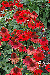 Sombrero® Salsa Red Coneflower (Echinacea 'Balsomsed') at Town And Country Gardens