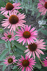 Mystical Pink Mist Coneflower (Echinacea purpurea 'Mystical Pink Mist') at Town And Country Gardens