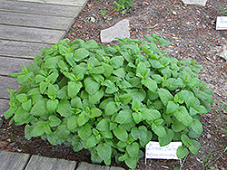 Lemon Balm (Melissa officinalis) at Town And Country Gardens