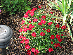 Telstar Crimson Pinks (Dianthus 'Telstar Crimson') at Town And Country Gardens