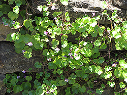 Kenilworth Ivy (Cymbalaria muralis) at Town And Country Gardens