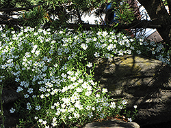 Mountain Sandwort (Arenaria montana) at Town And Country Gardens