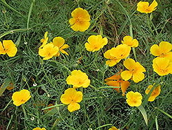 California Poppy (Escholtzia californica) at Town And Country Gardens