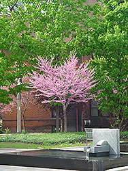 Eastern Redbud (tree form) (Cercis canadensis '(tree form)') at Town And Country Gardens