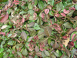 Purpleleaf Wintercreeper (Euonymus fortunei 'Coloratus') at Town And Country Gardens