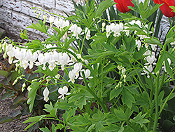 White Bleeding Heart (Dicentra spectabilis 'Alba') at Town And Country Gardens
