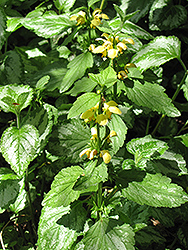 Yellow Archangel (Lamiastrum galeobdolon) at Town And Country Gardens